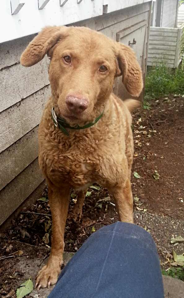 Mia_(Chesapeake_Bay_Retriever)